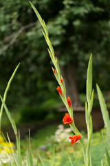 Red gladiolus twig