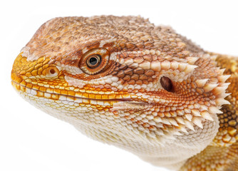 Bearded dragon - Pogona vitticeps on a white background