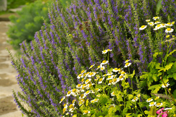 Flower-bed with camomile and bluebell