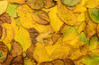 autumn leaves (actinidia)background, texture