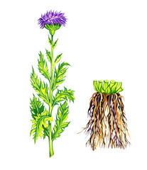 Rhaponticum carthamoides. Botany