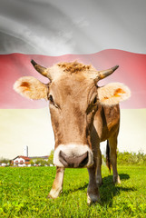 Cow with flag on background series - South Ossetia