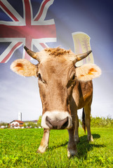 Cow with flag on background series - Turks and Caicos Islands