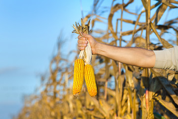 Corn cobs in male hand