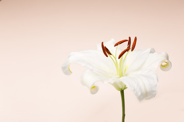 White lily close-up macro shot in studio on pastel background