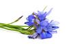 Obrazy na płótnie, fototapety, zdjęcia, fotoobrazy drukowane : iris flower