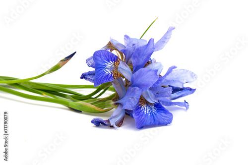 canvas print picture iris flower