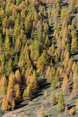 Colori autunnali in montagna - Conifere