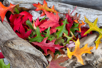Autumn Leaves on Driftwood