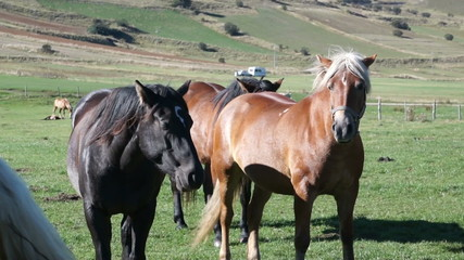 Horse black and Golden brown color graze on mountain pastures