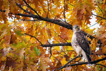 Red tail hawk perched in Central Park among autumn leaves