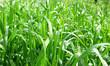 canvas print picture - капли росы на траве