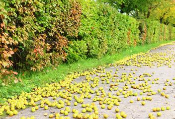 Плоды яблони на тротуаре