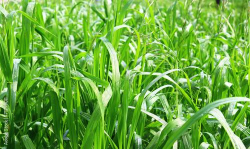 canvas print picture капли росы на траве