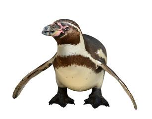 penguin isolated on white background