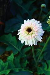 white gerbera