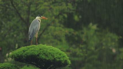 Grey Heron waiting out a rainstorm (Ardea cinerea)