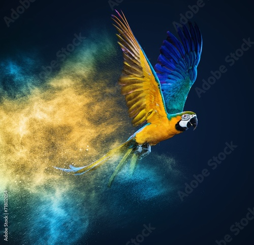 Flying Ara parrot over colourful powder explosion - 71802054