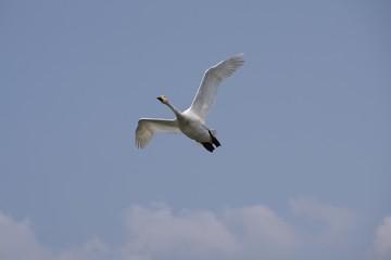 飛翔する白鳥