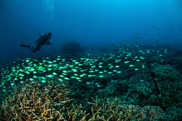 Schooling fish in Gili, Lombok, Nusa Tenggara Barat underwater