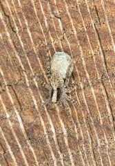 Pardosa Wolf spider with eggsack