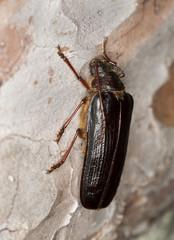 Tragosoma depsarium on pine wood