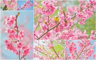 Cherry Blossom and sakura