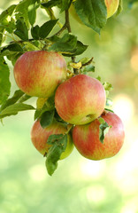 Red ripe apples on a branch