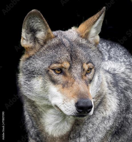 Tuinposter Wolf wolf portrait