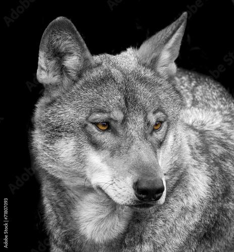 Deurstickers Wolf wolf portrait