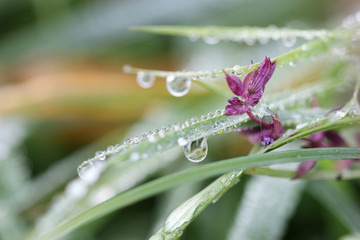morning dew drops on grass and flower closeup
