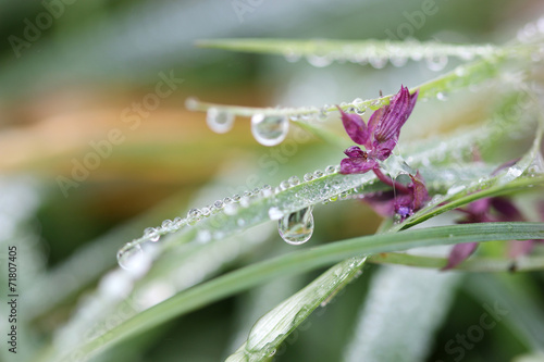 morning dew drops on grass and flower closeup © goce risteski