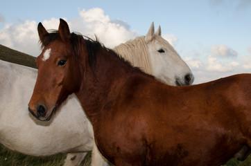 Cavalli in amore