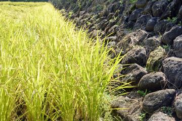 秋の幸田の棚田の石垣と稲