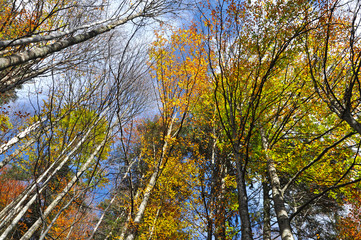 Autumn tree canopy in the forest