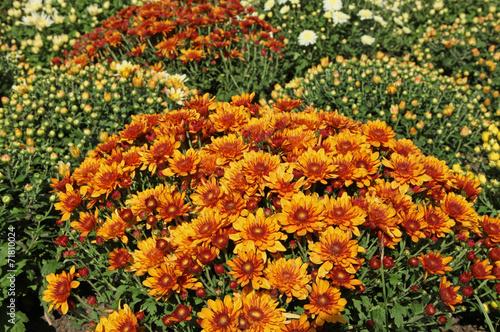 canvas print picture chrysanthèmes