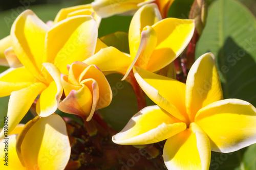 canvas print picture frangipanier jaune
