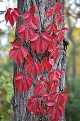 Виноград девичий пятилисточковый на стволе дерева осенью