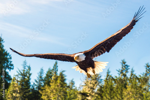 North American Bald Eagle in mid flight, hunting along river - 71812849