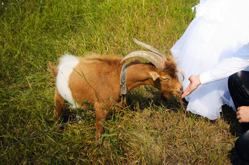 goat and a guy in a pasture