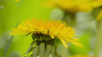 yellow dandelions sways in the wind, closeup video