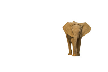 Baby elephant against a white background