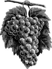 Vintage graphic vine grape