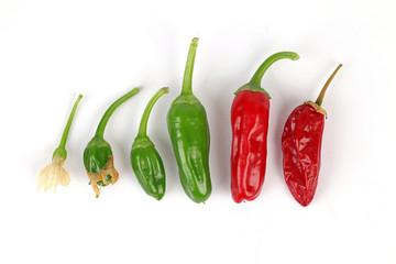 Lebenslauf einer Chili