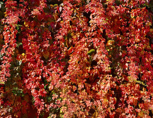 Background of red leaves, Red leaves over a wall