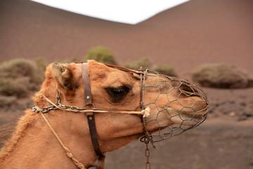 perfil de la cabeza de un camello
