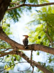 beautiful eurasian hoopoe (upupa epops) sitting in a tree