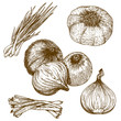 engraving illustration of onions