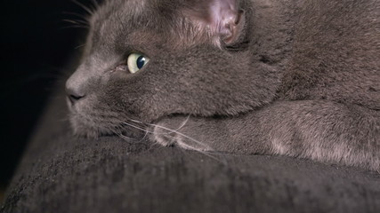british shorthair cat resting on coach or sofa