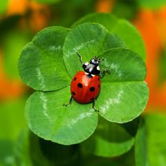 Glückskäfer, Marienkäfer auf vierblättrigem Kleeblatt